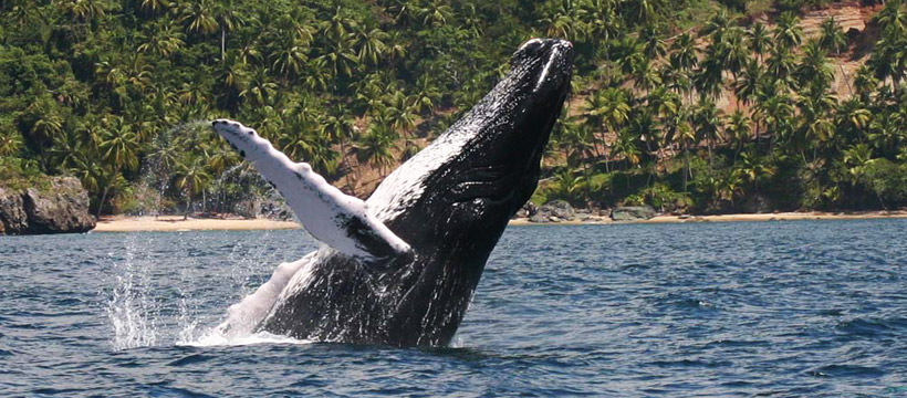 Humpback Whales in Samana Bay - Right in front of Puerto La Palma.